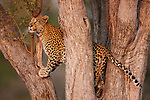 Botswana, Chobe National Park, Savuti, female leopard (Panthera pardus) climbing in tree