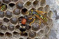Große Spinnenameise, Weibchen in einem Wespennest, Grosse Spinnen-Ameise, Mutilla europaea, European velvet-ant, Ameisenwespen, Spinnenameisen, Bienenameisen, Mutillidae, velvet ants
