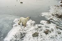 A male Polar Bear near Churchill, Canada sizes up his surroundings  while waiting for the ice on Hudson Bay to freeze over so that he and other  polar bears can hunt for seals.