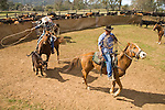 Cuneo Ranch spring calf marking at the Plymouth corral..Lavaggi Ranch near Plymouth.
