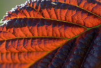 Ontluikend Elzenblad, rood verkleurend