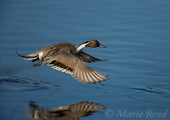 Northern Pintail (Anas acuta) male, taking flight, Bolsa Chica Ecological Reserve, California, USA<br /> Woodfall/Photoshot
