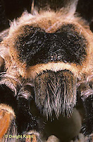 SI21-009z  Tarantula -red legged -face