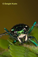 1C35-520z   Six-spotted Green Tiger Beetle - Cirindela sexguttata - close-up of head and jaws, eyes