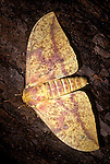 Imperial Moth Eacles imperialis