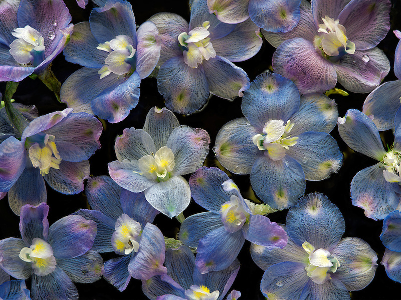 Close of of Baladonna flowers