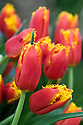 Tulip 'Davenport' (Fringed Group), mid May. First introduced in 1999.