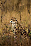 Cheetah (Acinonyx jubatus) twenty-one month old sub-adult male, Kafue National Park, Zambia