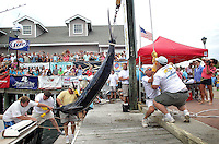 Chuck Beckley/Daily News      The weigh station at the Big Rock Blue Marlin headquarters hoists up the first blue marlin on the first day of the tournament. It weighed inat 499.3 pounds, seven tenths shy of 500 pounds and the limit to when money.