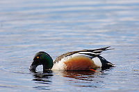 Northern Shoveler (Anas clypeata) drake feeding.  Pacific Northwest.