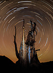 A vertiginous spiral of stars circles over an ancient bristlecone pine, considered the longest continuously living life-form on Earth.