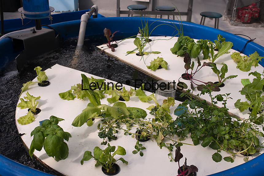 Aquaponic farming is seen on the rooftop Greenhouse Project classroom at the Manhattan School for Children in New York on Saturday, October 6, 2012. The greenhouse collects rainwater for irrigation growing their crops without carbon emissions or waste. The sustainable urban farm was created by the New York Sun Works Center. The lab teaches the students about sustainable food production and environmental science. (© Richard B. Levine)