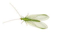 Lacewing - Chrysoperla carnea