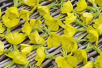 Nachtkerze, Nachtkerzen-Blüten, Blüten werden getrocknet, Ernte, Kräuterernte, Gewöhnliche Nachtkerze, Oenothera biennis, Common Evening Primrose, Evening-Primrose, Onagre