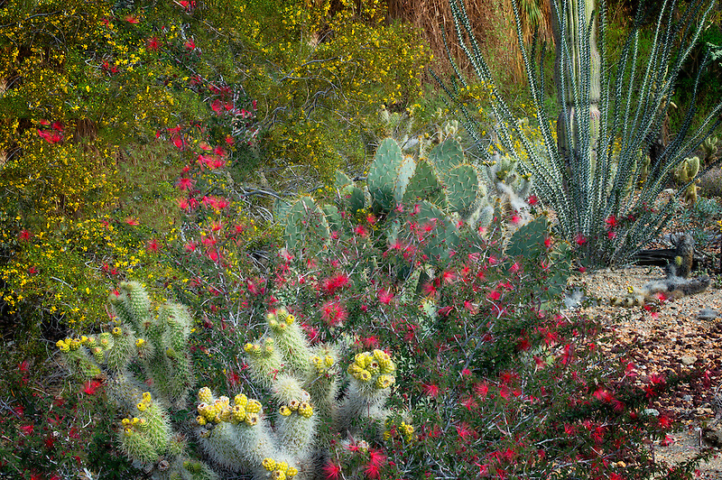 Cactus garden with cholla, prickly pear, ocotillo, and other flowers.,The Living Desert. Palm Desert, California