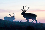 Red Deer stags face each each other at dawen in Bradgate Park Leicestershire