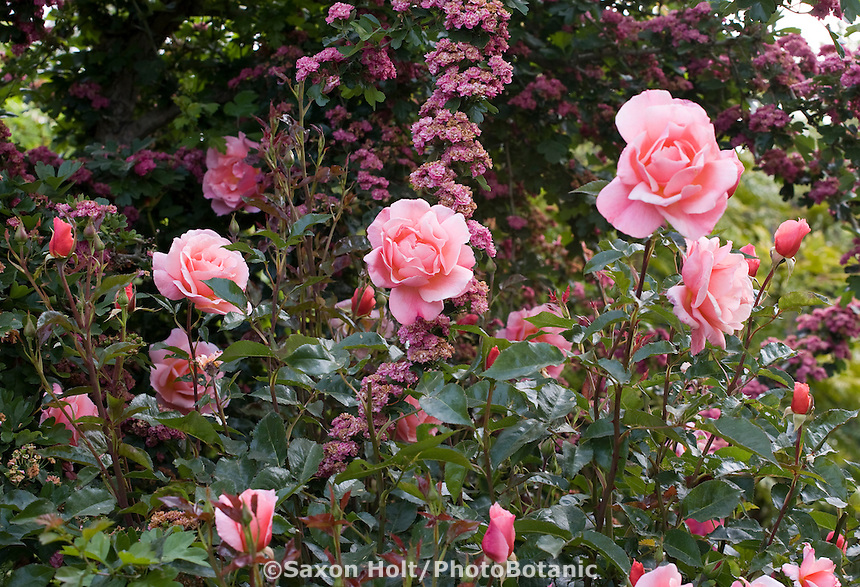 Pink flower rose Rosa 'Fragrant Delight' with Hawthorn tree in Maile Arnold garden