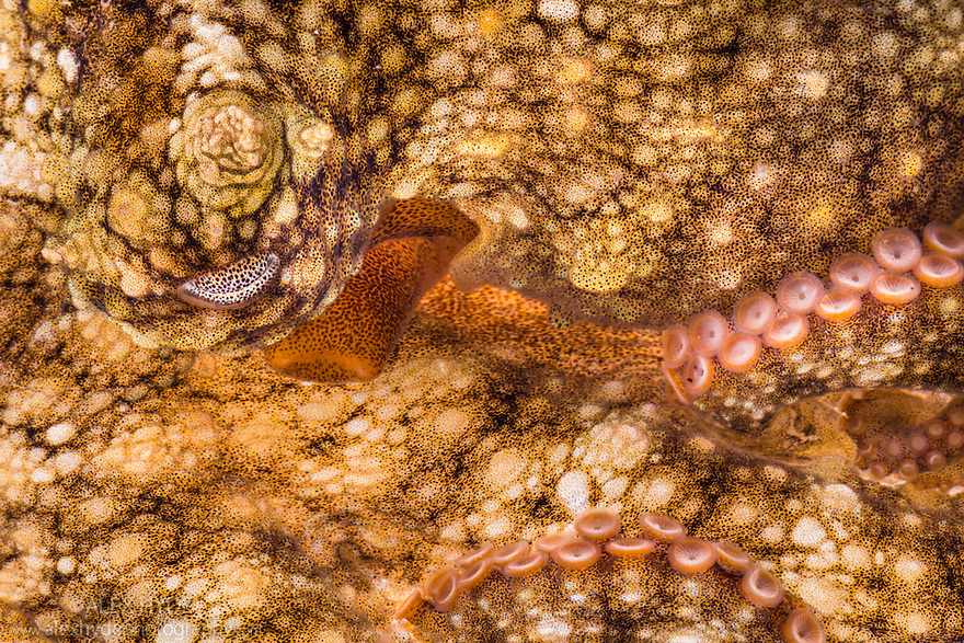 Common Octopus {Octopus vulgaris} abstract showing suckers and eye. La Gomera, Canary Islands, March.