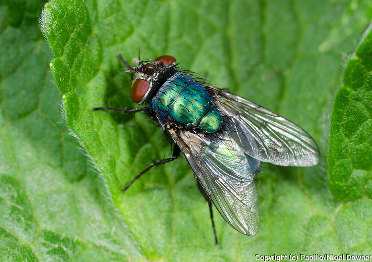 Close-up of a Greenbottle (Lucilia caesar) resting on a leaf in a Norfolk garden in summer.
