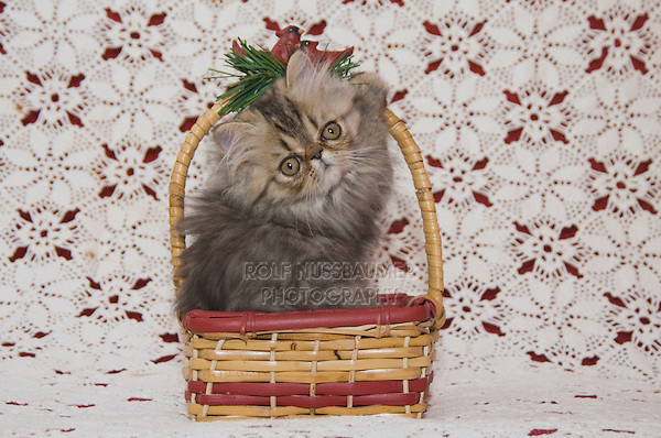 Persian Cat, Felis catus, Brown Tabby, Kitten in basket, Hill Country, Texas, USA