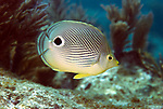 A Foureye Butterflyfish (Chaetodon capistratus) swims on Molasses Reef off Key Largo, Florida.