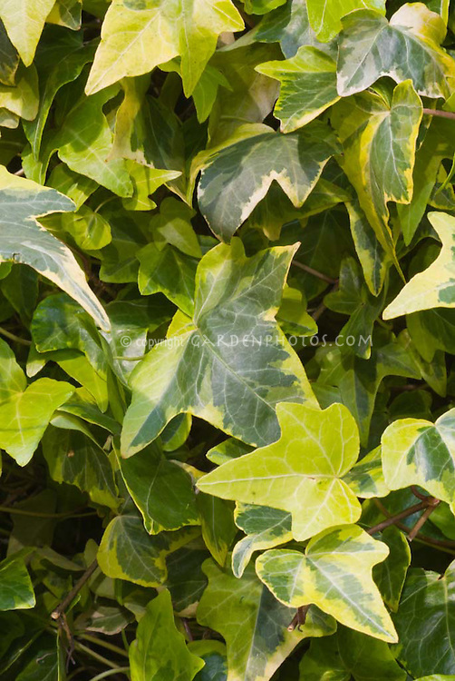 Variegated Tree Ivy X Fatshedera Lizei Variegata: Plant & Flower Stock Photography