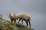 Alpine Ibex (Capra ibex) males fighting, Alps, Italy