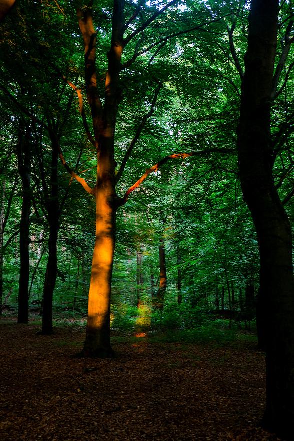 Nederland, Driebergen, 8 juli  2013<br /> Bos met boom waar nog net een straaltje zonlicht op valt.<br /> <br /> Foto(c): Michiel Wijnbergh