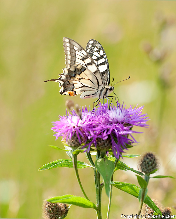 Swallowtail Butterfly, Papilio machaon, Vama Buzaului, Brasov, Transylvania, Romania, feeding on flower, backlight, prodiscus