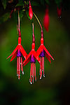 Fuchsia flowers at Queulat National Park, Aisen Region, Patagonia, Chile, South America. Carretera Austral highway.