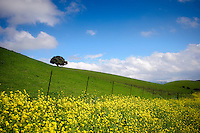 Goldenrod lining the rolling hills in the East Bay on a beautiful spring day
