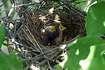 Nests and baby birds