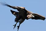 Griffon Vulture soaring