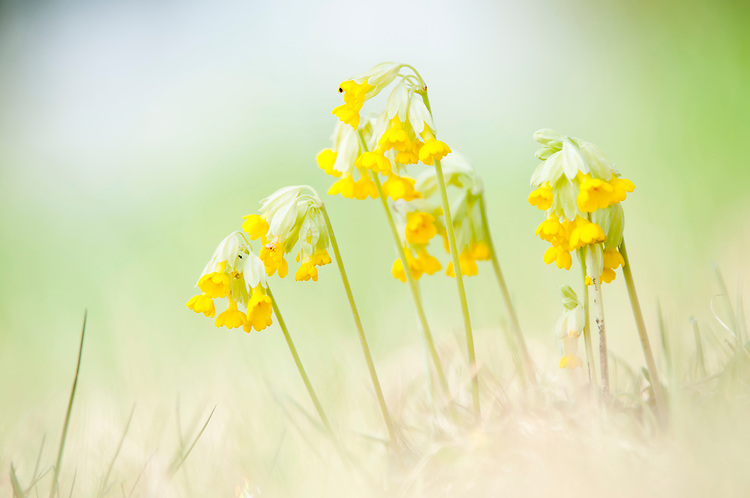 cowslip, primula veris in Hay Meadow - Clattinger farm, Wiltshire. This habitat has been reduced in the UK through intensified farming by 98% since the second world war and is highly endangered.