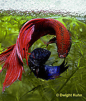 BY05-006z  Siamese Fighting Fish - male mating with egg laden female - Betta splendens