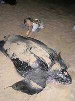 child with a nesting leatherback sea turtle, Dermochelys coriacea, Dominica, Caribbean, Atlantic