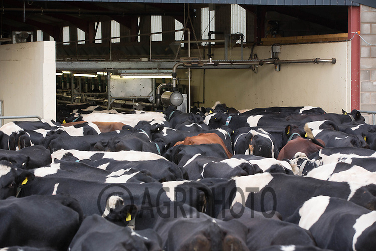 Dairy cows waiting to be milked <br /> Picture Tim Scrivener 07850 303986