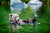 USA, Alaska, grizzly bear floating, Wolverine Cove, Redoubt Bay