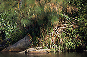 Brazil. Cayman basking on a rock in front of a bamboo grove.