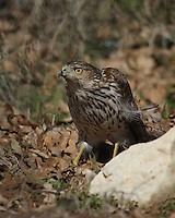 This Cooper's Hawk Immature's off in the brush, eyeing songbirds passing by one of our feeding stations..