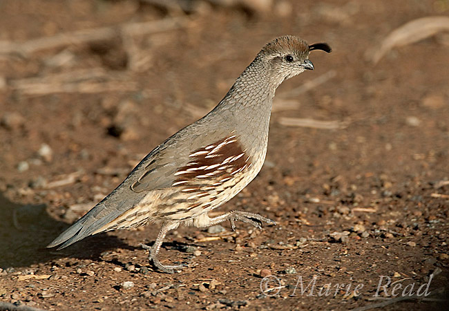 Gambel's Quail (Callipepla gambelii) female running, Salton Sea National Wildlife Refuge, California, USA