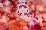 Coleman Shrimp CU , Periclimenes colemani, Underwater macro marine life images;  Photographed in Tulamben; Liberty Resort; Indonesia.Underwater Macro Photographer on FB 2nd Annual event