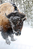 USA, Wyoming, Yellowstone National Park, a frost covered bison stands in the snow near Roaring Mountain