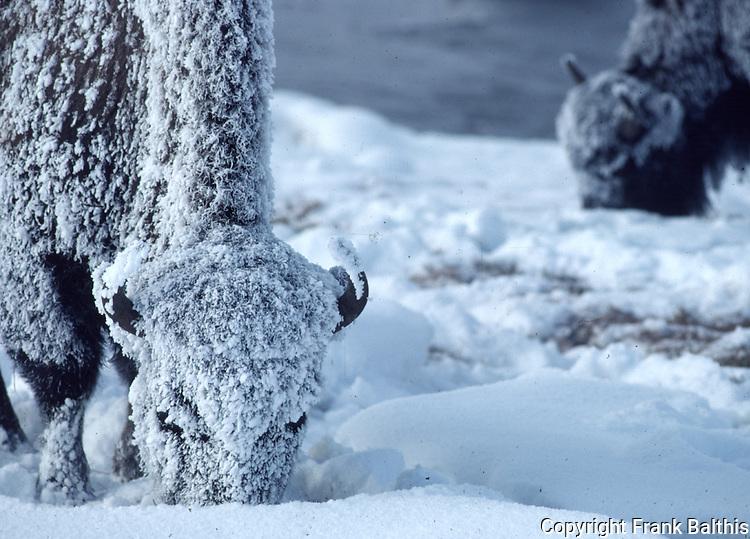 frosted bison in Yellowstone NP