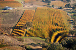 Colorful vineyards with autumn colors in California's Shenandoah Valley..Karmere Vineyards oak in the vineyard