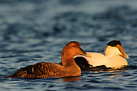 Pair of adult Common Eider (Somateria mollissima) of the eastern subspecies S. m. dresseri. Gloucester, Massachusettes. March.
