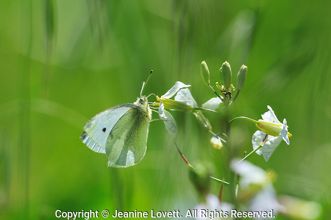Cabbage white butterfly feeding on white flower.