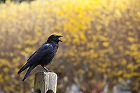 Western American Crow Calling Out, Black Birds, Washington State, WA, America, USA.