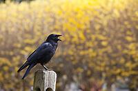 Western American Crow Calling Out, Black Birds, Washington State, WA, America, USA.