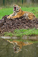 BNPS.co.uk (01202 558833)<br /> Pic: CalebHall/Longleat/BNPS<br /> <br /> Tired tiger... Reflections of a beautiful big cat. <br /> <br /> Longleat Safari Park has been showing the public what they've been missing during the lockdown by releasing a candid collection of pictures of their famous collection of big cats.<br /> <br /> The Wiltshire park is currently closed to the public due to COVID-19 but has been giving animal lovers an insight into the animals.<br /> <br /> They have snapped the iconic lions in a number of spots around their enclosure as well as a series of photographs of their tigers.